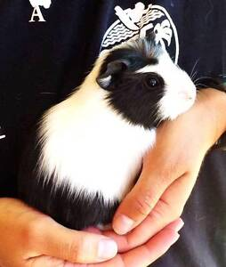 Guinea pigs Baby, Young, and Adults Cavies. Abyssinians, Himalaya Forest Grove Margaret River Area Preview