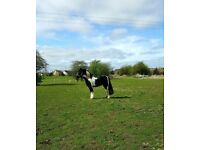 Cob mare available for share