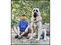 Pure kangal pedigree puppies