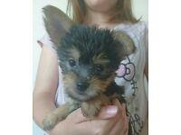 Very Sweet Yorkie X Chihuahua (Chorkie) Girl Pup