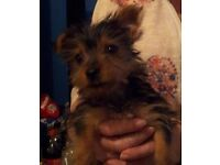 1 girl yorkshire terrier puppy