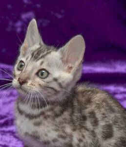 Pure Silver Rosette Bengal Kittens