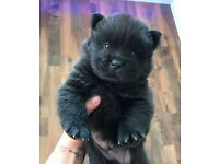 Gorgeous chow chow puppies for sale