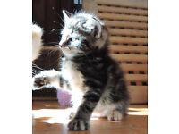 Cross Bengal Kitties