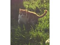 gorgeous male ginger and white cat