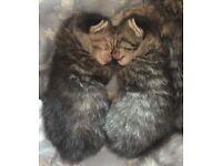 Part Siamese kittens