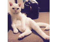 All white cat lost from Flixton!