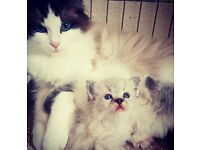ADORABLE RAGDOLL KITTENS, ALL MALE