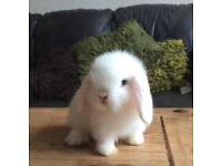 pure bred mini lop rabbits