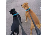 2 Staffordshire Bull Terriers (Free)