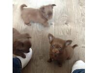 Long haired pedigree chihuahua pups chocolate champagne