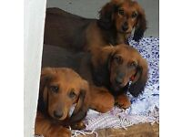 Dachshund long haired puppies.