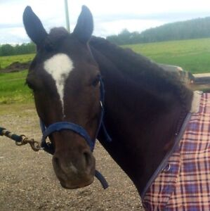 9year old pony gelding free lease/sale