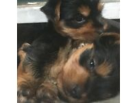 2 gorgeous female pups Yorkshires for sale