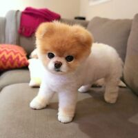 Looking for a Pomeranian