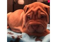 Beautiful Kc reg Shar Pei puppies £1200