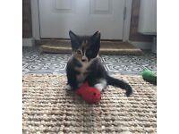 Tortoiseshell kitten for sale
