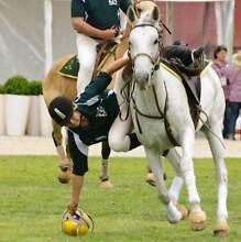 Grey stock x arab mare for sale Scone Upper Hunter Preview