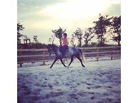 15.1 warmblood mare for loan