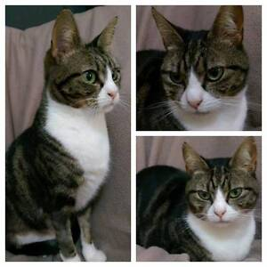 AC0265 : Betsy - CAT for ADOPTION - Vet Work Included Merriwa Wanneroo Area Preview