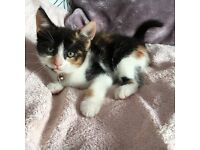 *Adorable Calico Female with fluffy tail *possible delivery