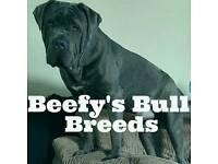 Neapolitan mastiff x Old Tyme Bulldog
