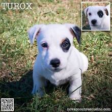 Turox - Jack Russell Terrier Mix Male Puppy Metford Maitland Area Preview