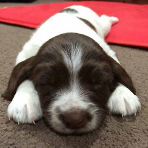Working Line English Springer Spaniel pups for sale Browns Plains Logan Area Preview