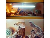 Bearded Dragon & 4ft Vivarium Complete Setup