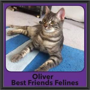Oliver - Best Friends Felines Kallangur Pine Rivers Area Preview