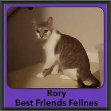 Rory Best Friends Felines Scarborough Redcliffe Area Preview