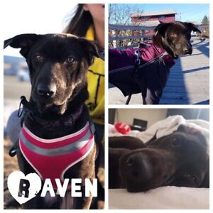 Female lab mix for adoption - raven