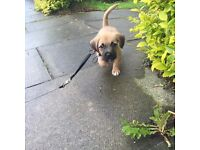 Pug X Jack Russel Pup (Fully house trained, very well behaved, no barking)