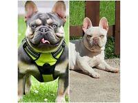 Amazing frenchie pups