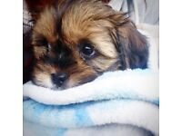Gorgeous Male Lhasa Apso cross king charles spaniel puppy