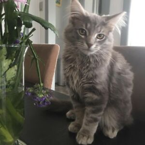 Grey fluffy kitten has gone missing on the 2nd January