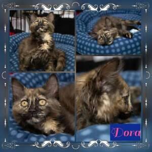 Dora~Rescue Kitten~Vet Work Included