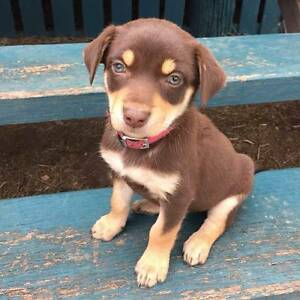 Kelpie pups pure bred Red and Tan for sale Lockyer Valley Preview