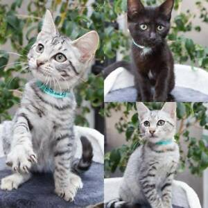 AK3332/35/3 - Jungle Book Babies - ADOPT KITTENS - Vet Work Inc