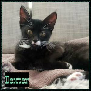 Dexter~Rescue Kitten~Vet work included