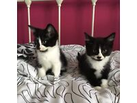 Gorgeous Kittens 2 Felix Boys