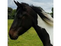 Beautiful 4 year old mare for share