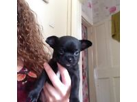 Gorgeous tiny Boy Chihuahua puppy