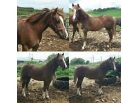 Horse for sale. Yearling Welsh Sec D