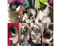 Shih tzu puppies viewing available £1200( only 2 female left )
