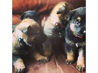 beautiful German shepherd puppies