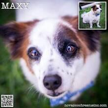 Maxy - Small Male Fox Terrier Blend Carrington Newcastle Area Preview