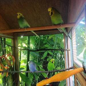 4 Budgies and Huge Bird Cage Lismore Lismore Area Preview