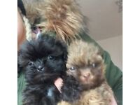 Adorable Healthy Tiny Shih Tzu Puppies, Ready now