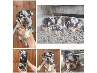 11 week old merle puppies